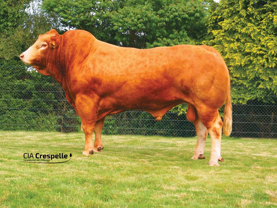 Taureau Limousin Clovis