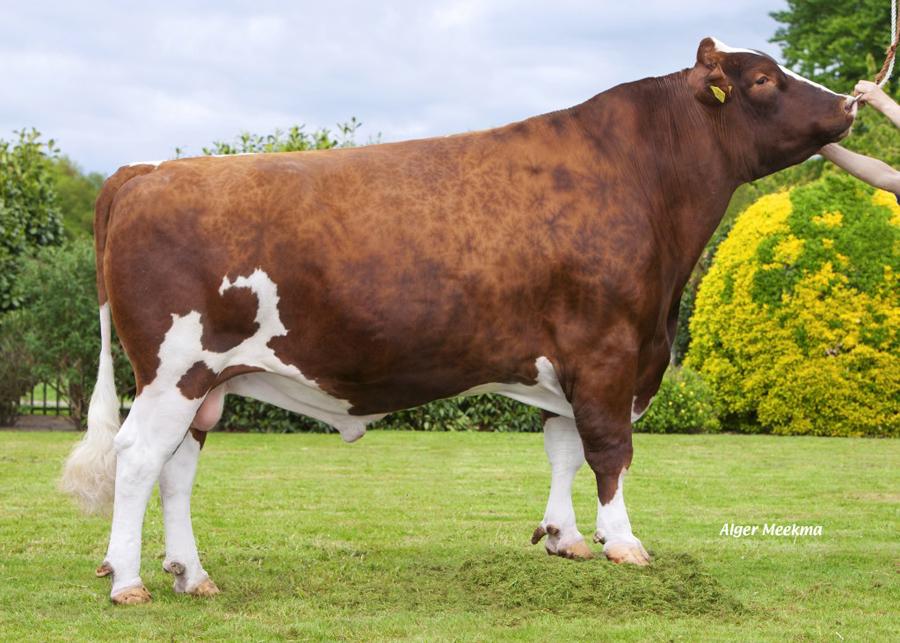 Taureau Holstein rouge Tackelberry